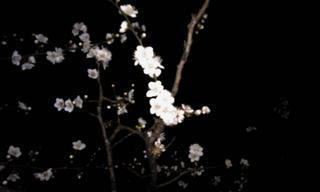 夜の梅.jpg